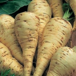 Parsnip White Gem 500 seeds