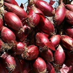 Onion Long De Florence Simane 200 seeds