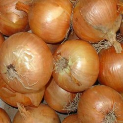 Onion Stuttgarter Giant 300 seeds