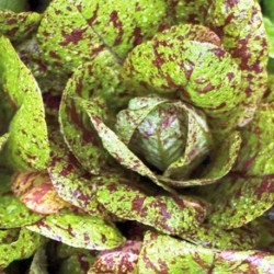Lettuce Freckles 500 seeds