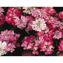 Candytuft Crown Mixed 300 seeds