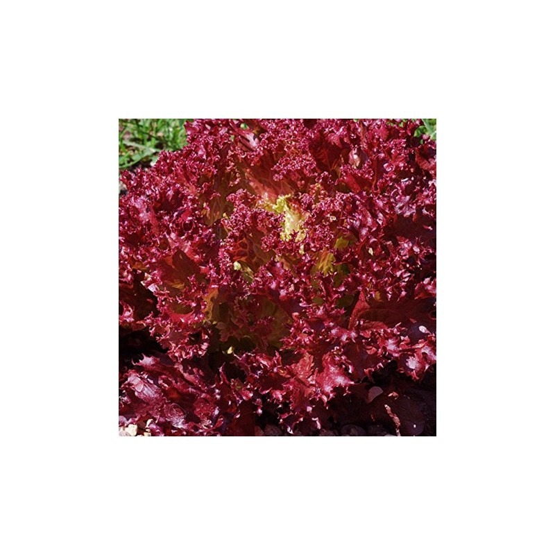 Lettuce Lollo Rossa 500 seeds