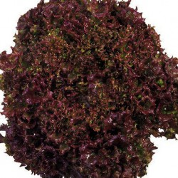 Lettuce Red Salad Bowl 500 seeds