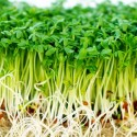 Cress Seeds - Common 10,000 seeds