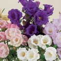 Canterbury Bells Calycanthema Mixed 600 seeds