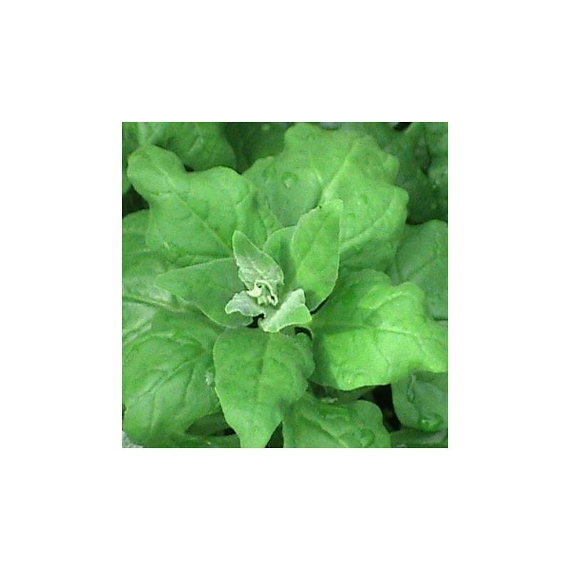 New Zealand Spinach 100 seeds