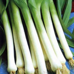Leek Giant Winter 400 seeds