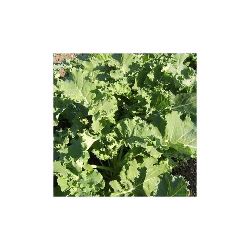Borecole Dwarf Green Curled 500 seeds