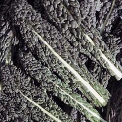 Kale Nero di Toscana 1000 seeds