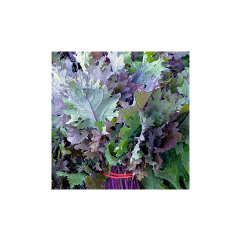Kale Red Russian 300 seeds