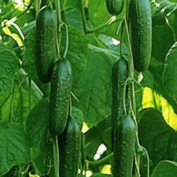 Cucumber Passandra F1 Hybrid 5 seeds