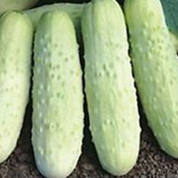 Cucumber White Wonder 30 seeds
