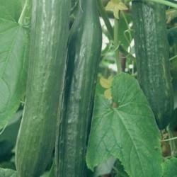 Cucumber Femspot