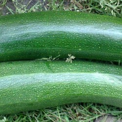 Courgette Black Beauty 30 seeds