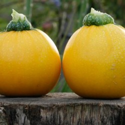 Courgette Floridor F1 10 seeds