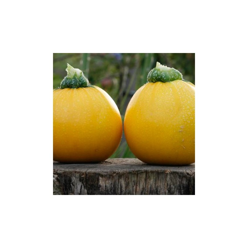 Courgette One Ball F1 Hybrid 10 seeds