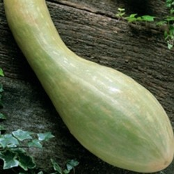 Climbing Courgette Tromboncino Albenga 10 seeds