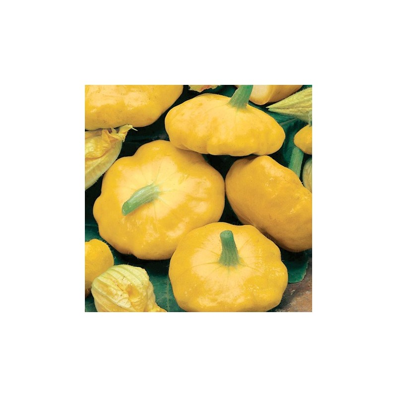 Summer Squash - Sunburst F1 5 seeds