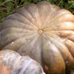 Winter Squash - Musquee de Provence 10 seeds