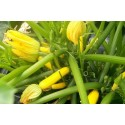 Courgette Atena Polka F1 10 seeds