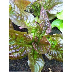 Lettuce Marvel of four seasons 500 seeds