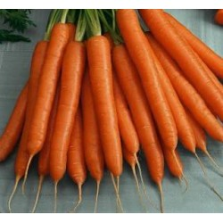 Organic - Carrot Flakkee 1000 seeds