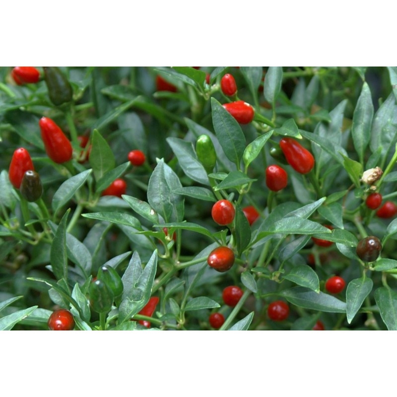 Hot Pepper - Purple Tiger 10 seeds