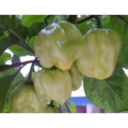 Hot Pepper - Habanero White 10 seeds