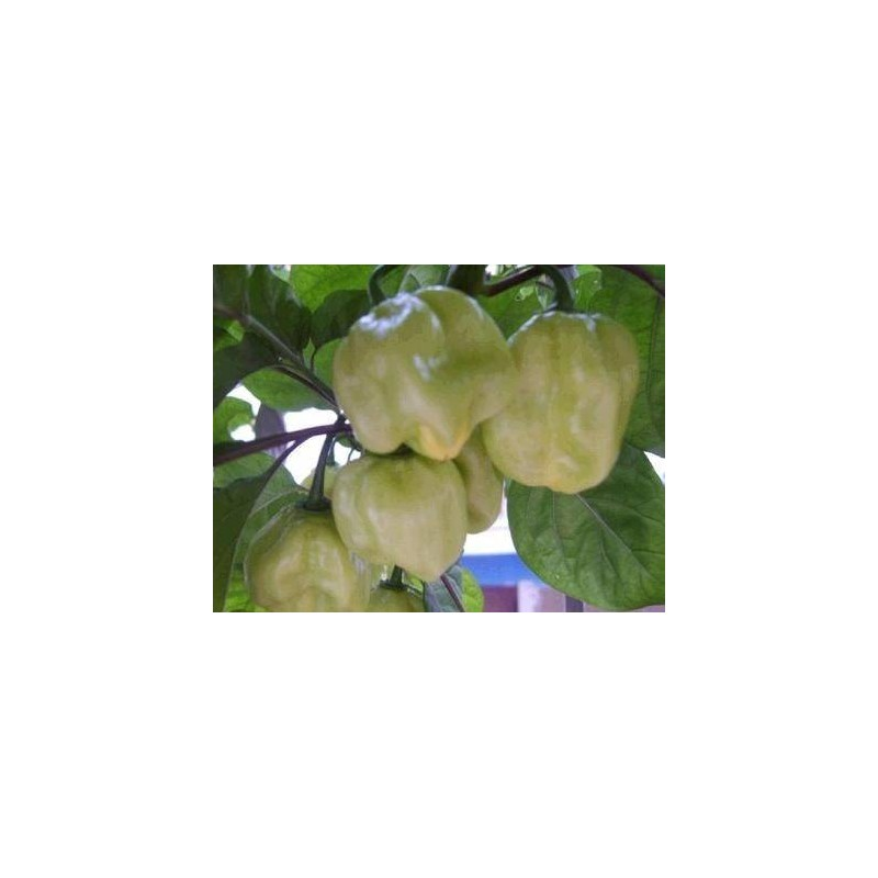 Hot Pepper - Habanero White 10 seeds