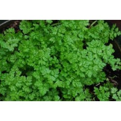 Chervil Curled 1000 seeds