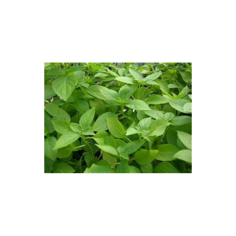Basil Lemon 200 seeds