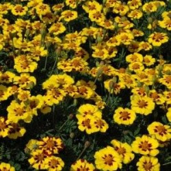 French Marigold Naughty Marietta 200 seeds