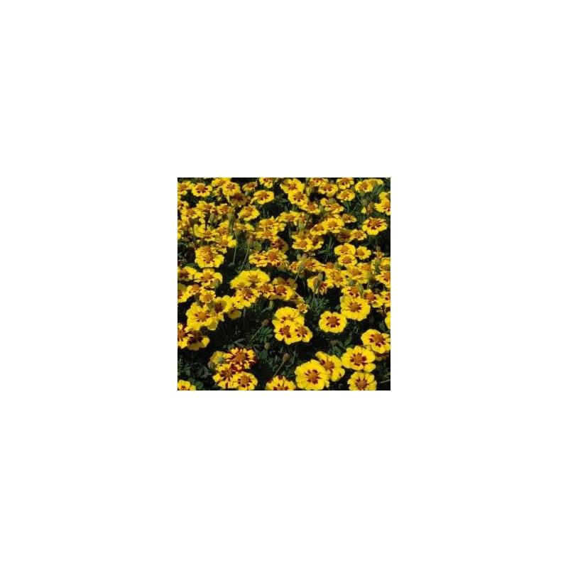 French Marigold Naughty Marietta 200 seeds