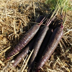 Carrot Purple Sun F1 200 seeds