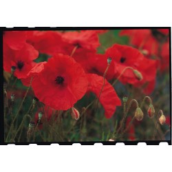 Field Poppy 2500 seeds