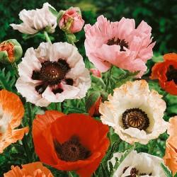 Oriental Poppy - Papaver...