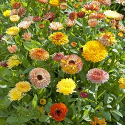 Calendula Playtime mix 75...