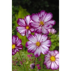 Cosmos Fizzy Rose Picotee...