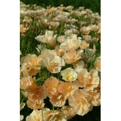 Californian Poppy Peach...