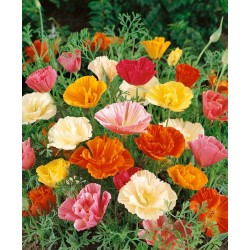 Californian Poppy Mission...