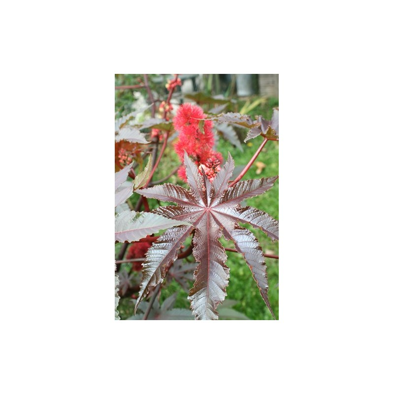 Castor Oil Plant, Ricinus 10 seeds