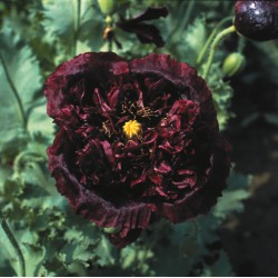 Poppy Black Peony 600 seeds