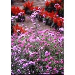 Verbena bonariensis 600 seeds