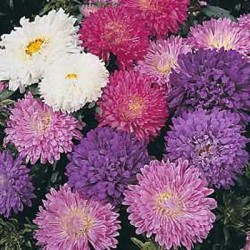 Aster Carousel Blended Mix 150 seeds