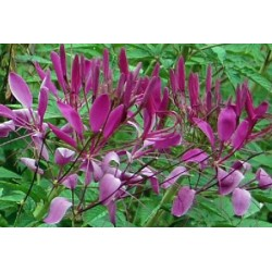 Cleome Violet Queen 300 seeds
