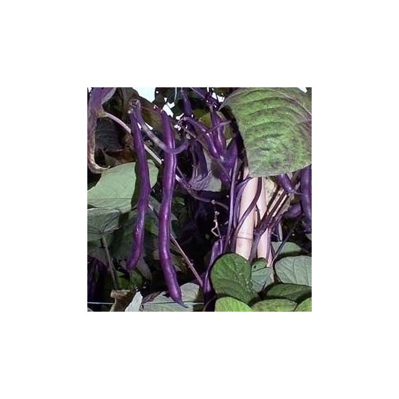 Climbing French Bean Cosse Violette 25 seeds