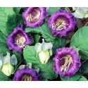 Cobaea Scandens Purple 15 seeds