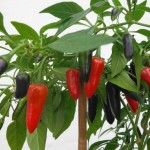 Chilli Pepper Sowing And Growing Tips
