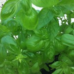Growing basil from seeds indoors or outdoors