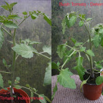 Tomatoes: Removing Side Shoots or Not